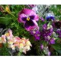 Pansy and friends